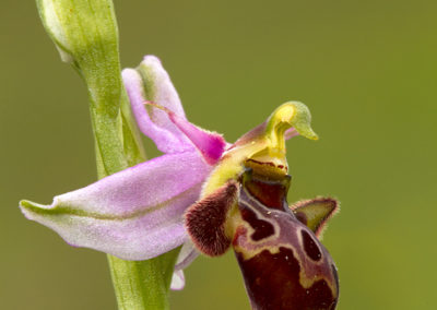 Sniporchis, Ophrys scolopax